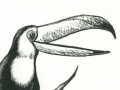 toucan scratchboard spot illustration